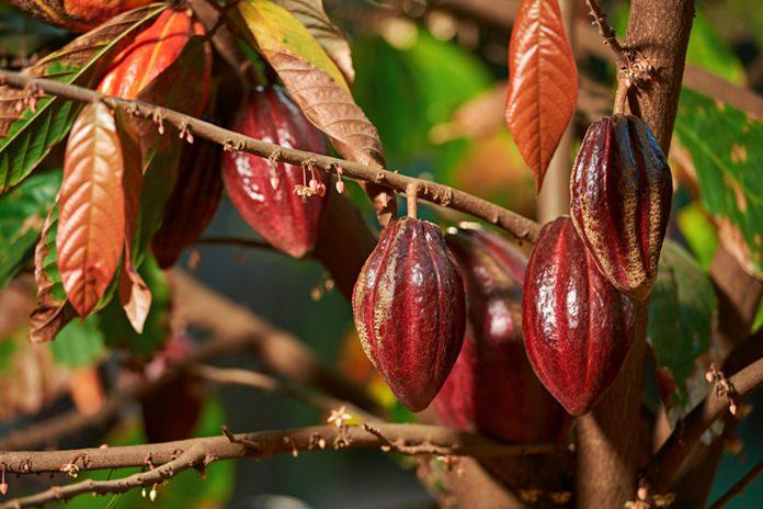 hama kakao