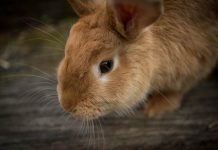 tips membeli kelinci