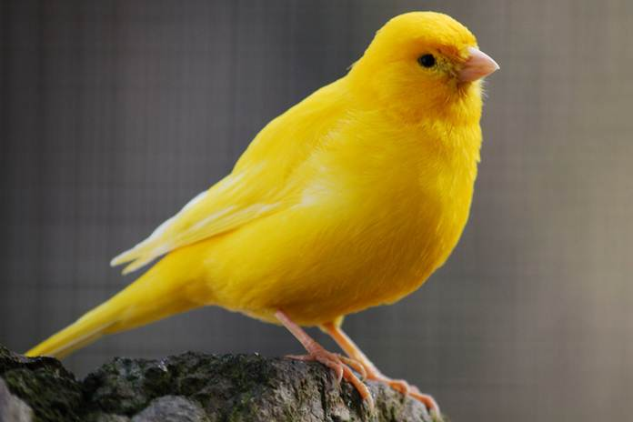 penyakit yang biasa menyerang burung kenari