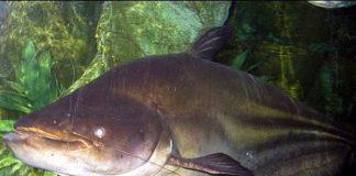 ikan monster