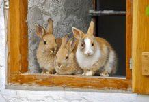 kelebihan ternak kelinci pedaging