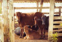 menggemukkan sapi