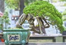membuat bonsai beringin