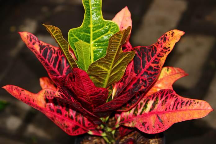 daun tanaman hias