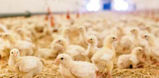 limbah peternakan ayam broiler