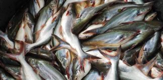 pengendalian penyakit ikan patin