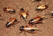 konsumsi serangga