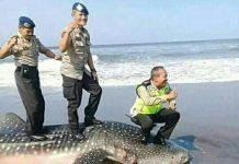 injak hiu mati