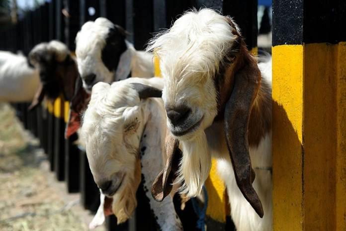 kambing gelonggongan
