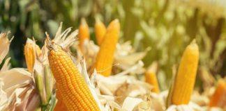 limbah jagung