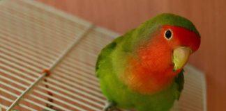jamu tradisional untuk lovebird