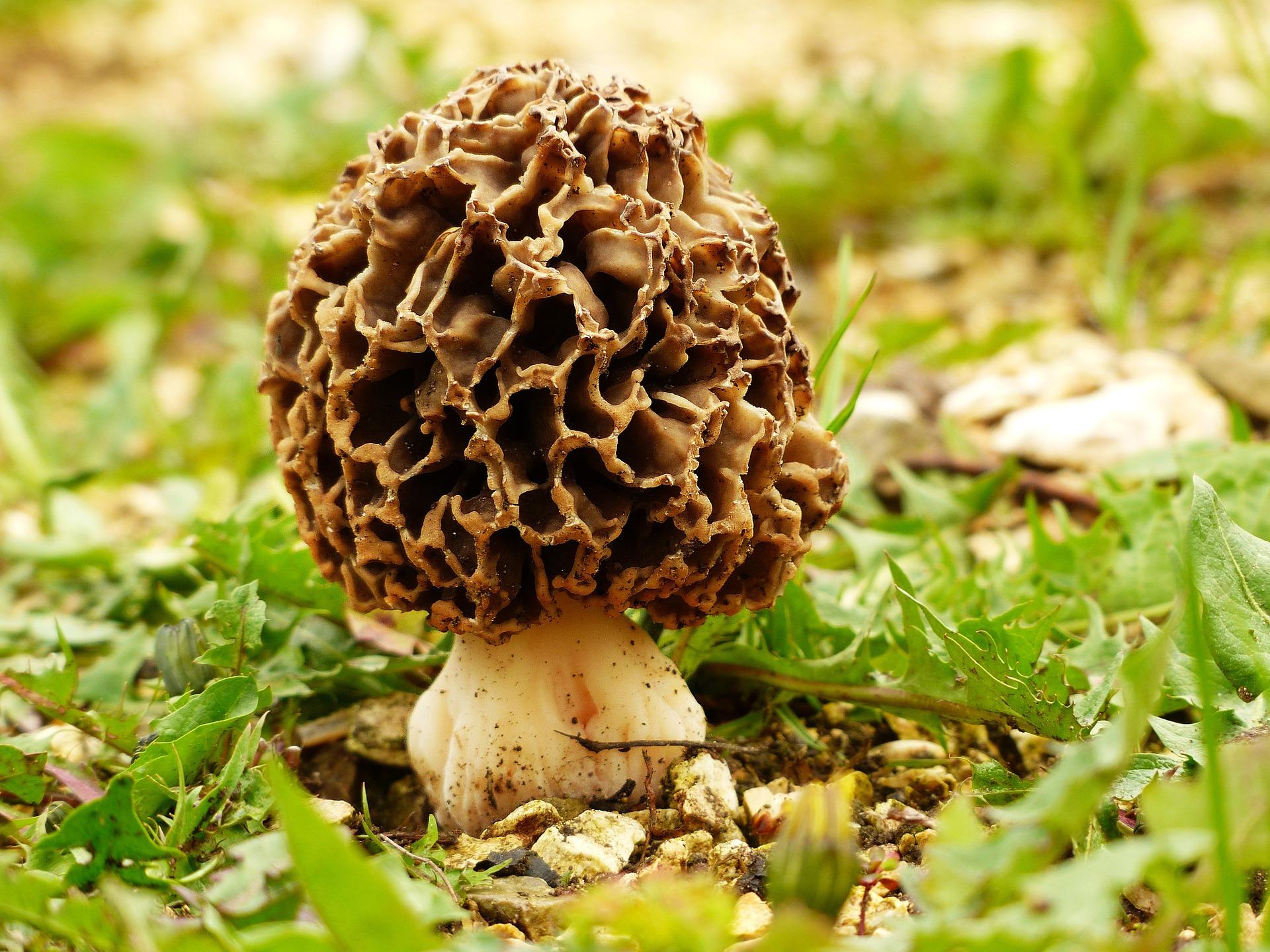 jamur milik Indonesia