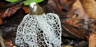 jamur tudung pengantin