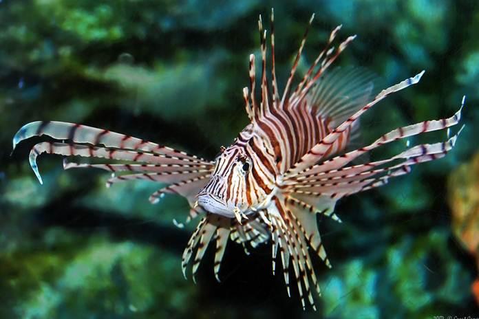 Ikan lepu