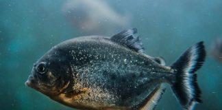 jenis ikan ganas
