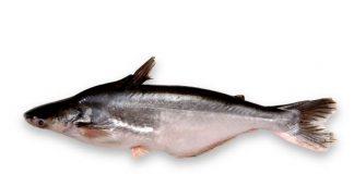 jenis-jenis ikan patin