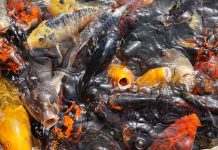 pakan alternatif untuk ikan