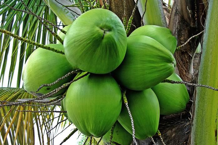 Kelapa Hibrida Indonesia