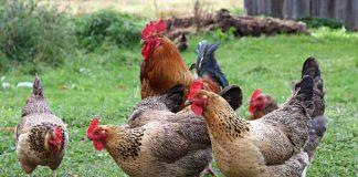 Panen ayam buras