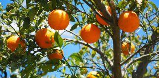 tanaman jeruk