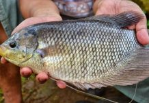 mengatasi bau lumpur pada ikan