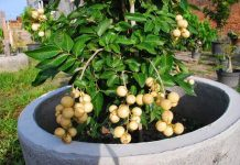 jenis tanaman buah