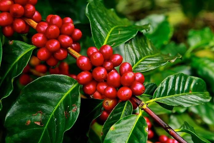 usia produktif tanaman kopi