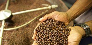 pengolahan biji kopi robusta