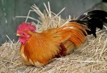 kandang terbaik untuk ternak ayam kampung