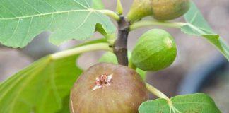jenis pohon buah tin