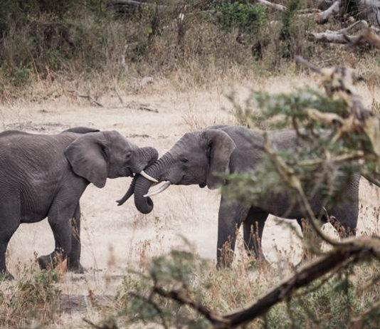 gajah hidup tanpa belalai