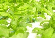 nutrisi tanaman hidroponik
