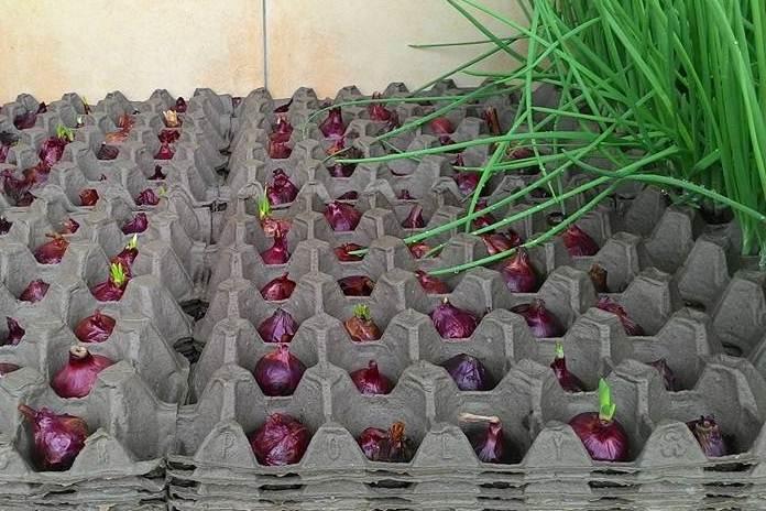 menanam bawang