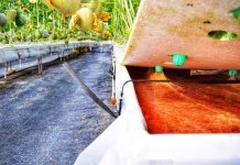 menanam melon sistem hidroponik