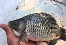 Budidaya ikan tombro