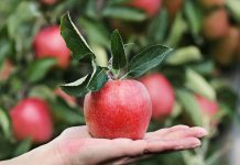 merawat pohon apel