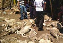 Belasan kambing mati misterius