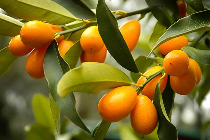 bertanam jeruk di pekarangan