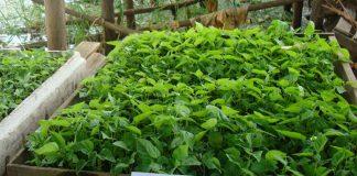 Budidaya benih cabai