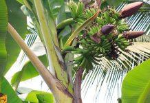Manfaat batang pisang