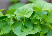 Manfaat daun antanan