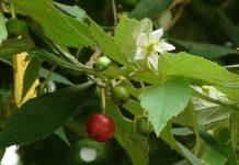 manfaat mengejutkan daun kersen