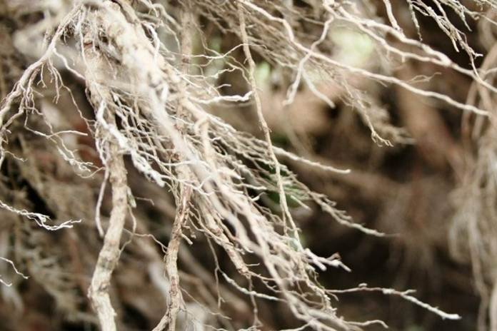 manfaat mikoriza
