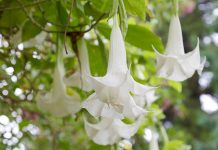 tanaman bunga terompet