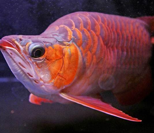 pakan terbaik untuk ikan arwana