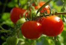Pertanian sayur