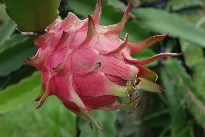 pembibitan buah naga