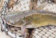 sifat kanibalisme ikan lele