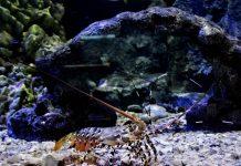 budidaya lobster hias