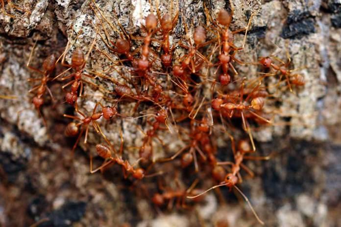 budidaya semut rangrang